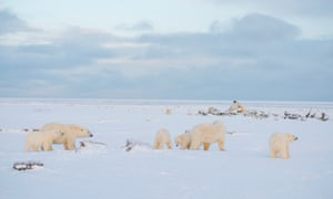 Three polar bear family groups gather at a whale bone pile in search of food in North Slope