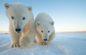 A pair of polar bear cubs approach on newly formed pack ice