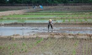 Rice paddies in Vietnam's Mekong Delta