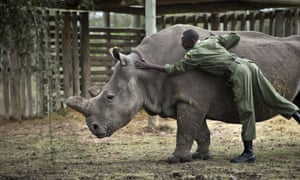 Keeper Mohamed Doyo leans over to pat female northern white rhino Najin in her pen where she is being kept for observation at the Ol Pejeta Conservancy in Kenya. One of the last six in the world has died in a San Diego safari park.