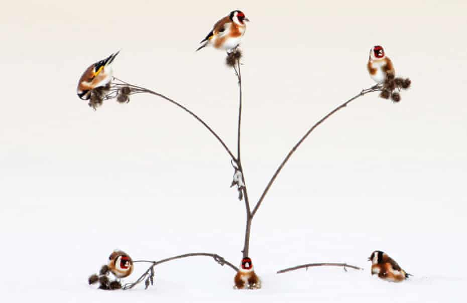 Five goldfinches in a fruit tree.