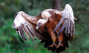 A griffon vulture (Gyps fulvus) flies at a center run by the Black Vulture Conservation Foundation (BVCF) near Campanet, on the Spanish balearic island of Mallorca June 13, 2012. Picture taken June 13, 2012. REUTERS/Enrique Calvo  (SPAIN - Tags: SOCIETY ANIMALS):rel:d:bm:GF2E86E18TA01