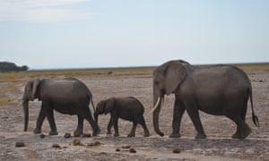 Elephant mother walking behind daughter and young calf, Amboseli National Park, Kenya
