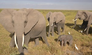 Baby elephant with adults in Amboseli National Park, Kenya.