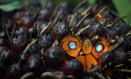 Palm oil seeds.