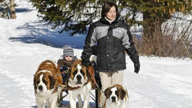 Walking with St Bernard dogs in Switzerland