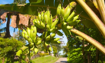 Bananas growing over a road