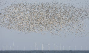 Knot (Calidris canutus) flock, in flight over sea, wind turbines of offshore windfarm in distance, Norfolk, England.
