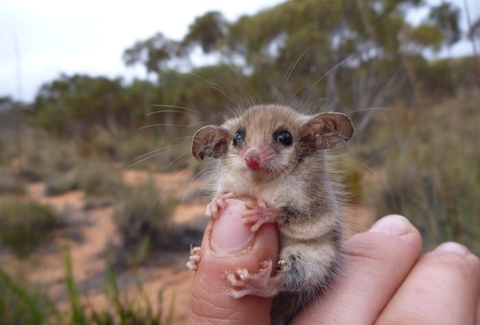"It is a western pygmy possum native to southern Australia and was taken on northern Eyre Peninsula, South Australia.   ""The pygmy possum was caught during a field trip at a site where it has been studied for 20 years to investigate how the pygmy possum population responds to rainfall in the semi-arid environment.   ""Pygmy possums are nocturnal and weigh between 8 to 21 grams. They spend most of their time in trees, however, they do come down to the ground in order to change trees when foraging.   ""Despite their small size, they can travel very quickly on the ground and this is when they can be caught in pitfall traps, otherwise known as a bucket dug into the ground."""