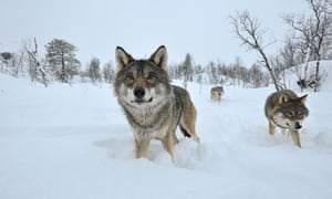 Three wolves in snow, Norway