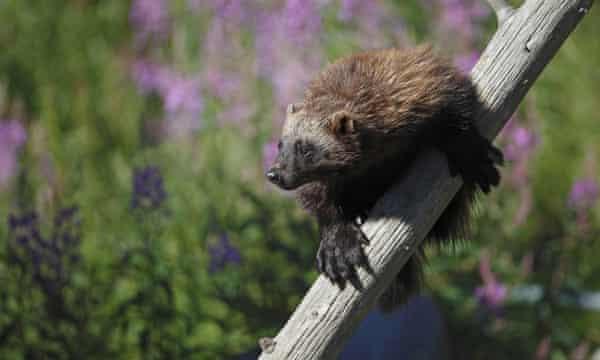 Wolverine (Gulo gulo) adult, climbing dead tree, Finland