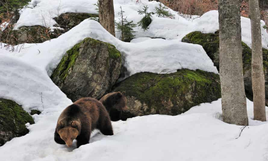 Brown bear (Ursus arctos) female with two-year-old cub in the snow in early spring emerging from den among rocks in forest, Germany