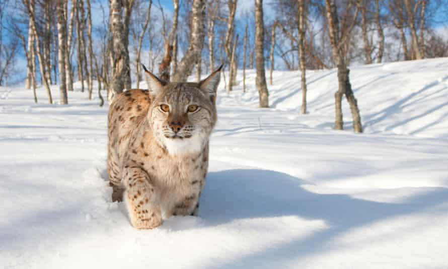 Eurasian lynx (Lynx lynx), adult female in birch forest in winter, Norway.