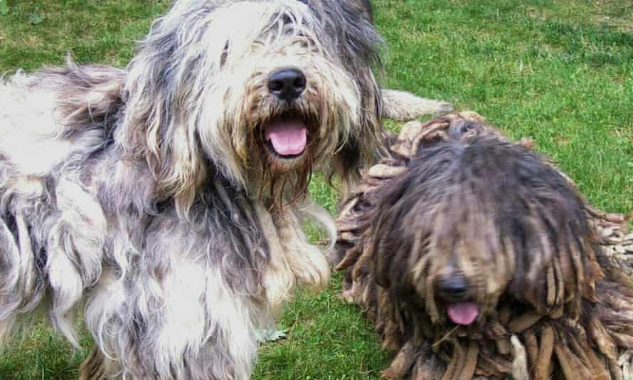 The American Kennel Club will recognize Bergamascos as a new breed in 2015.