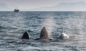 Scientists have only recently been studying the behaviour of the Grundarfjördur orca pods
