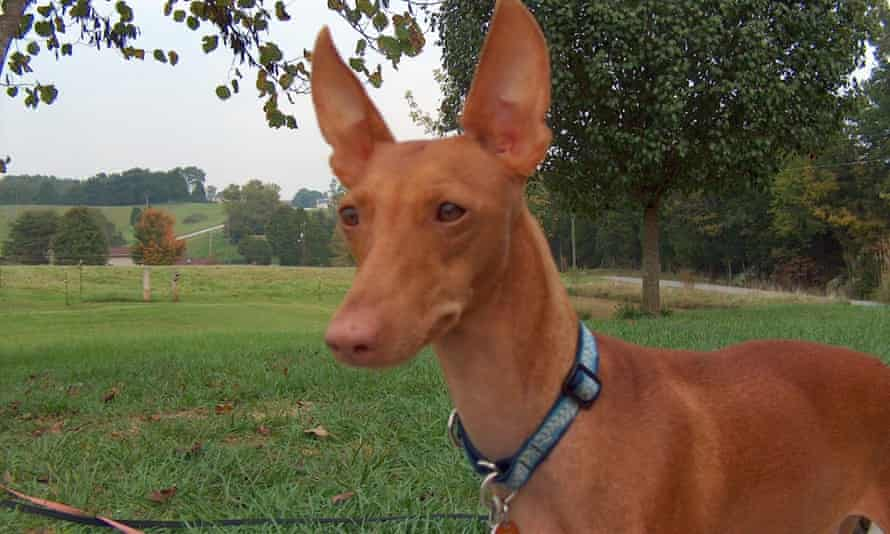 """Called """"the Sicilian greyhound"""", the Cirneco dell'Etna is an active rabbit hunter."""