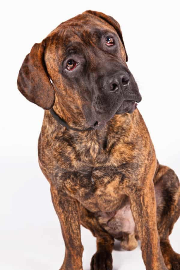 Boerboels are among the newly recognized breeds.