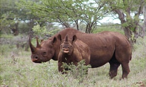 A black rhino male and calf are seen in Mkuze, South Africa.
