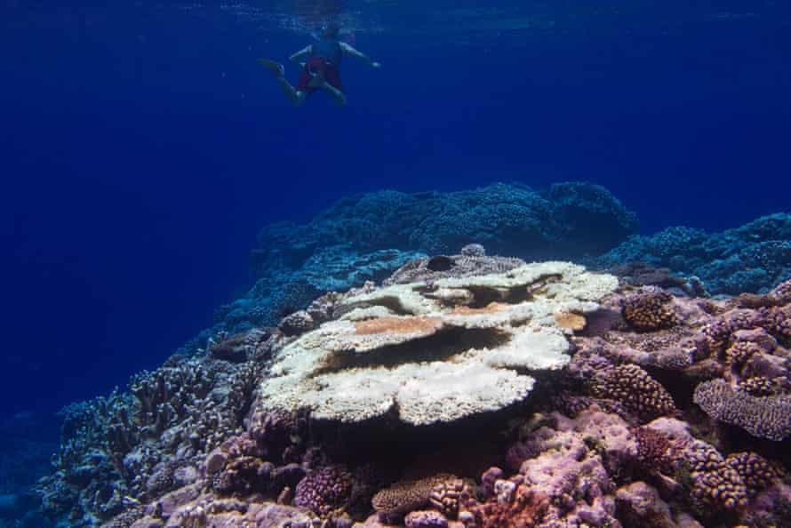 Table corals provide an excellent hiding place for smaller fish. In some areas of the Marshall Islands, up to 100% have been killed by the spike in sea surface temperatures since September.  Location: Arno atoll, Marshall Island, December 2014