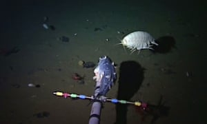 Supergiant amphipod