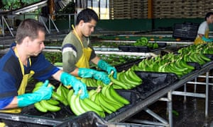 Workers processing bananas at a Dole banana plantation in Costa Rica