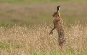 "First place - hare by Stuart Scott: ""I saw the hare near the edge of a field by a stonewall near Blainslie in the Scottish Borders. Somehow it heard me long before I got close and had moved away. When I looked over I saw it standing up on its hind legs trying to get a good view of me."""