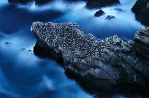 British Wildlife Photography Awards 2014 of nesting gannets taken in Shetland by Ruth Asher, which won the Habitat category.  Habitat winner: Ruth Asher's 'A life at Sea', nesting gannets, Shetland, Scotland.