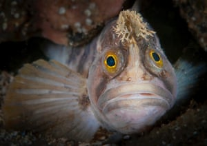 Runner up: Kirsty Andrews – Yarrell's blenny, Scotland http://www.theguardian.com/environment/gallery/2014/nov/19/british-underwater-photography-competition-winners-in-pictures
