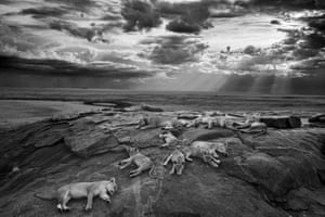 2014 Wildlife photographer of the Year Black and White category winner and Overall Wildlife Photographer of the Year winnerThe last great picture by Michael 'Nick' Nichols (USA) showing five female lions at rest with their cubs in Tanzania's Serengeti National Park http://www.theguardian.com/environment/gallery/2014/oct/22/2014-wildlife-photographer-of-the-year