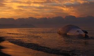The carcass of a huge fin whale sits on Retamar beach as the sun goes down in Almeria, Spain