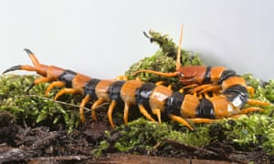 Giant Tiger Centipede, Scolopendra gigantea, with jointed legs and orange and black bands.
