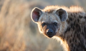A young spotted hyena