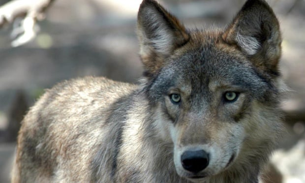 A gray wolf is shown in Forest Lake, Minnesota