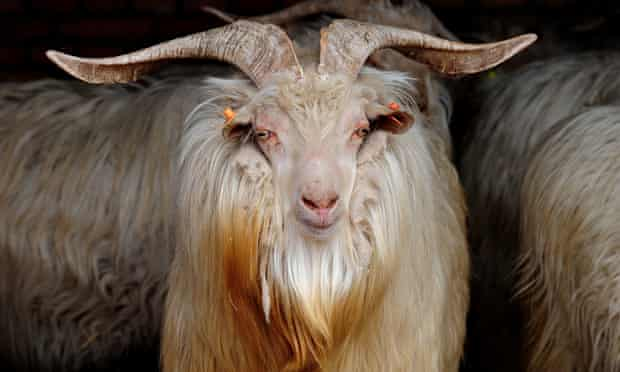 Close-up of cashmere goat with near-horizontal horns