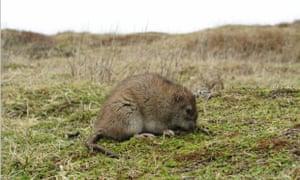 25 Brown Rat on South Georgia