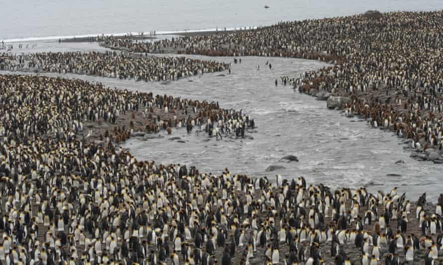 King Penguins colony on South Georgia
