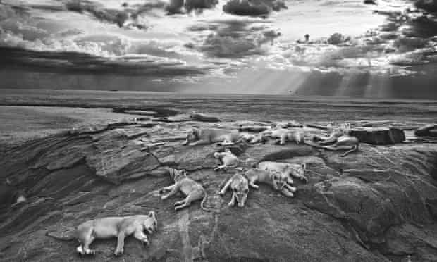 The Vumbi pride in Tanzania's Serengeti National Park