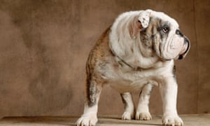8ebcbc2a2c1 english bulldog. Though the dogs don t need much exercise and are good with  children