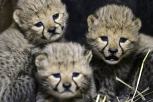 Three of the newly born cheetah quadruplets rest at their enclosure in Prague's zoo, Czech Republic