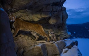World press photo awards Nature	, 1st prize 	stories in Nature category : Cougars by Steve Winter