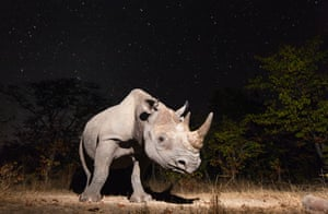 BBC Wildlife camera-trap competition : Overall winner of the photography categories and animal portraits winner: Black Rhino by Will BurrardLucas, North Luangwa National Park, Zambia http://www.theguardian.com/environment/gallery/2014/nov/20/2014-bbc-wildlife-camera-trap-competition-winners