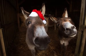 St Boswells, Scottish borders  Donkeys in a sanctuary get ready to travel to various nativity events around the area