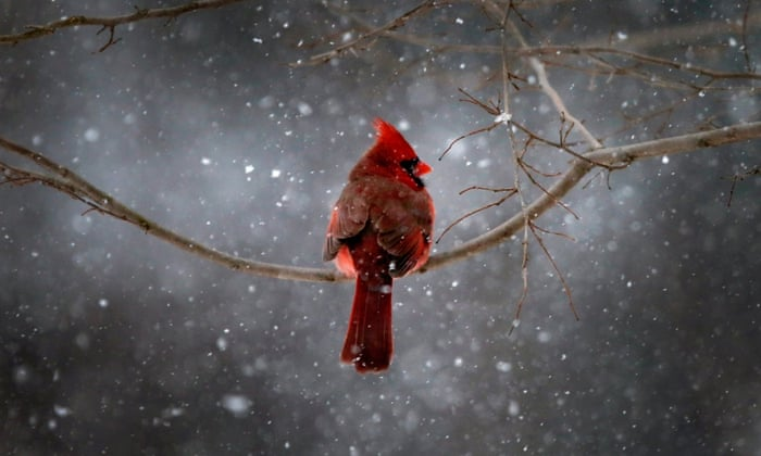 A Northern Cardinal sits on a tree branch in falling snow in the New York City suburb of Nyack