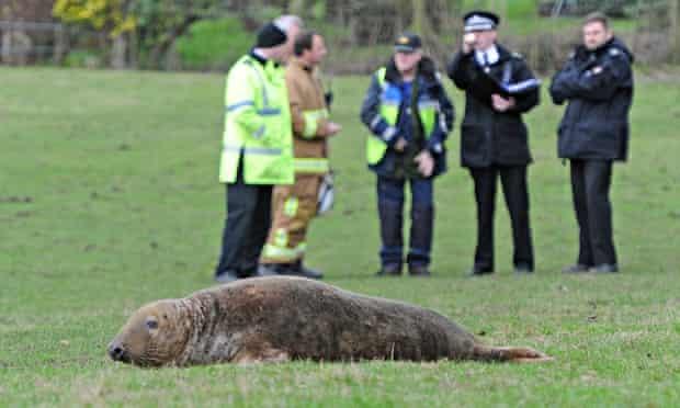 Grey seal farmer's field Newton-le-Willows in Merseyside