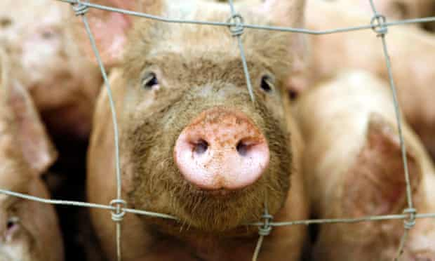 Pig face through wire