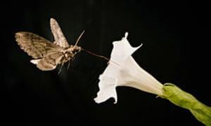 Pollinating moth Manduca sexta