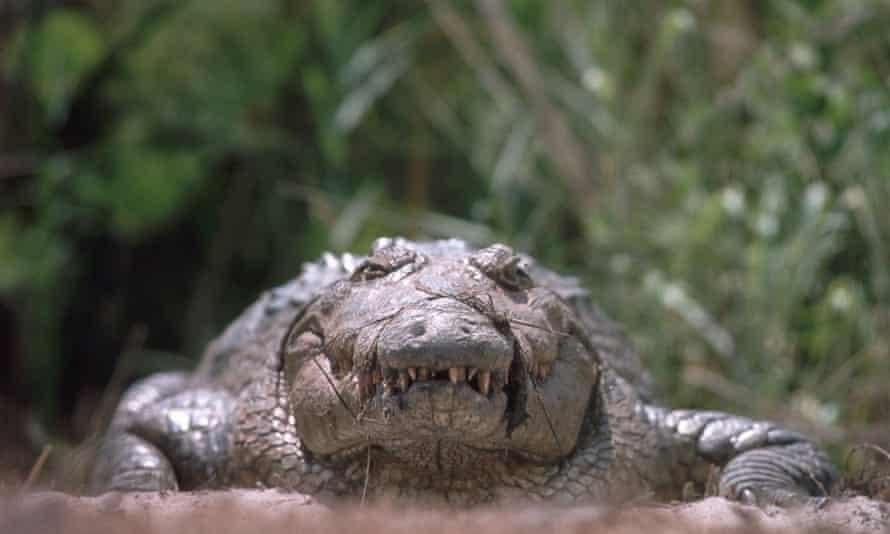 A female Nile crocodile sits on the warm sand guarding her nest of eggs.ProtectingInteractionsFemalesHeadsNile crocodilesCrocodilesCrocodylidaeCrocodiliansReptilesVertebratesChordatesCrocodylus niloticusCountriescountryRiversNestsAnimal dwellingsBotswanaAfricaAnimals