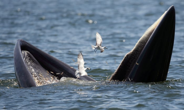 A Bryde's whale and seagulls feast on anchovies in the Gulf of Thailand