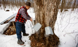 Collecting maple syrup in Quebec