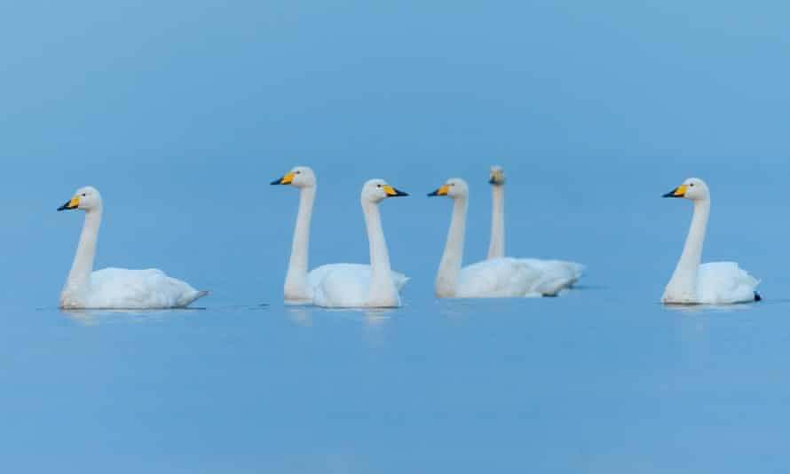 Whooper swans, swimming with their heads held high.